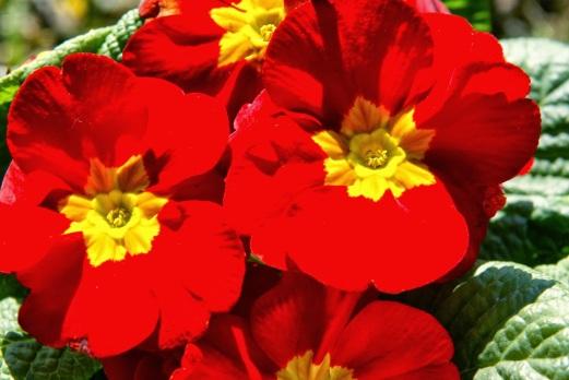 Primula vulgaris Flower 11