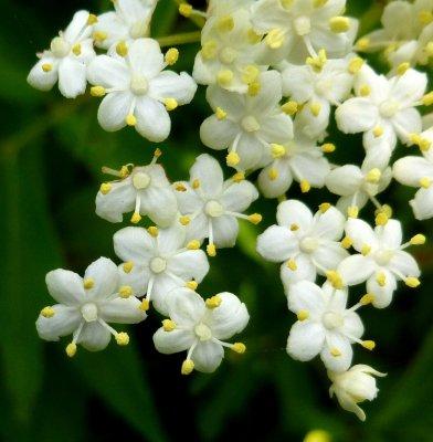 14-elderberry-flowers