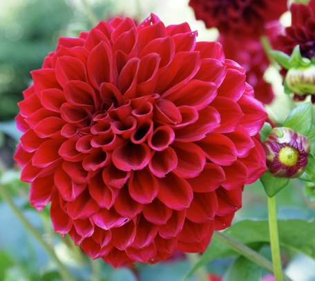 Dahlia Flowers 2.jpg